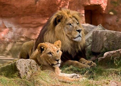 lion_wildlife_predator_zoo_africa_animal